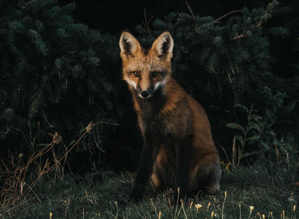red fox illustration