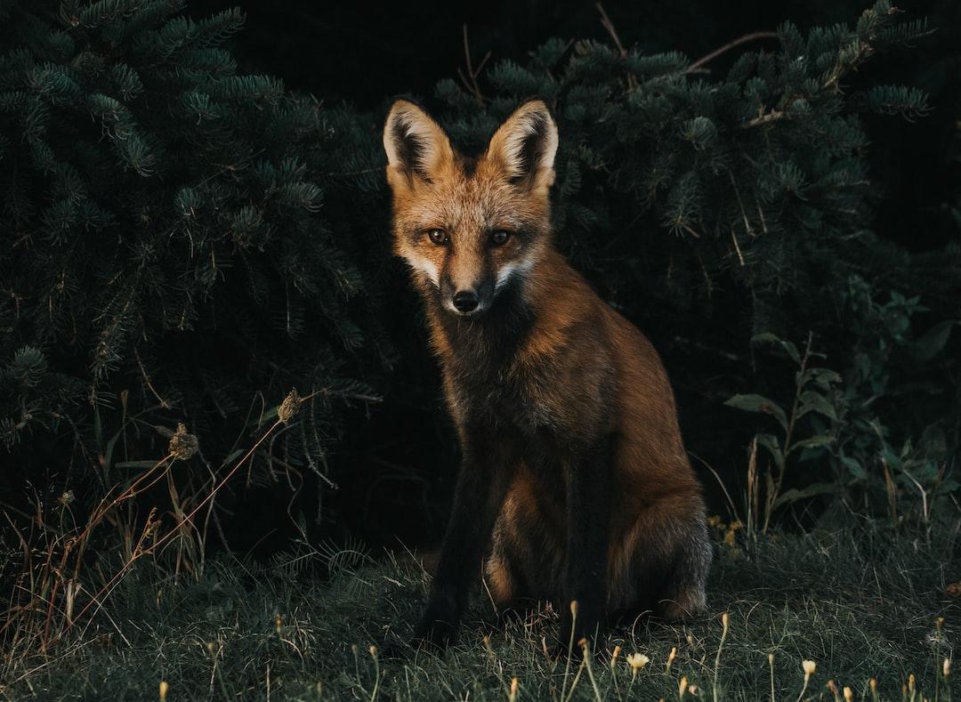 Lone Fox Dancing