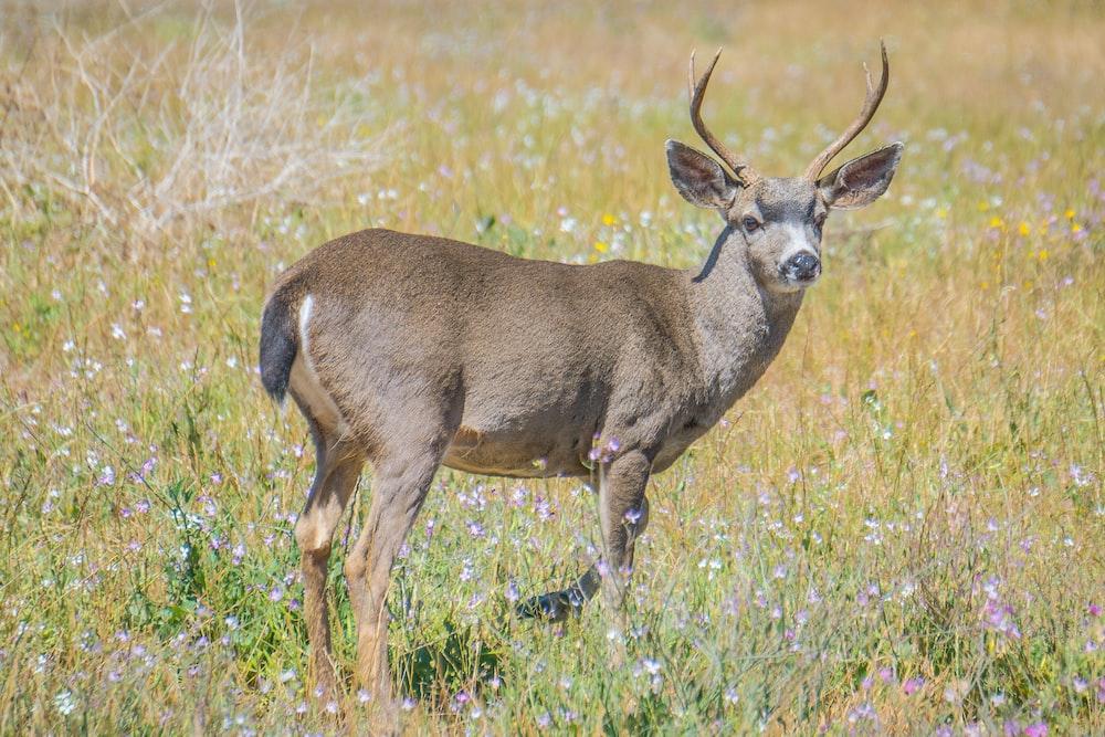 brown deer standing on grass