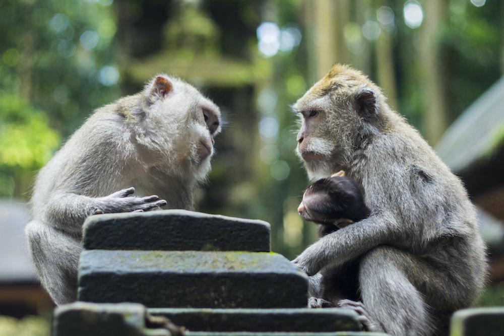 two gray monkeys