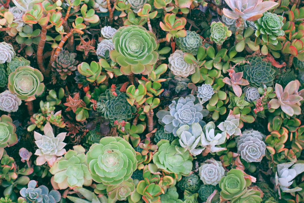 top-angle photography of succulent plants