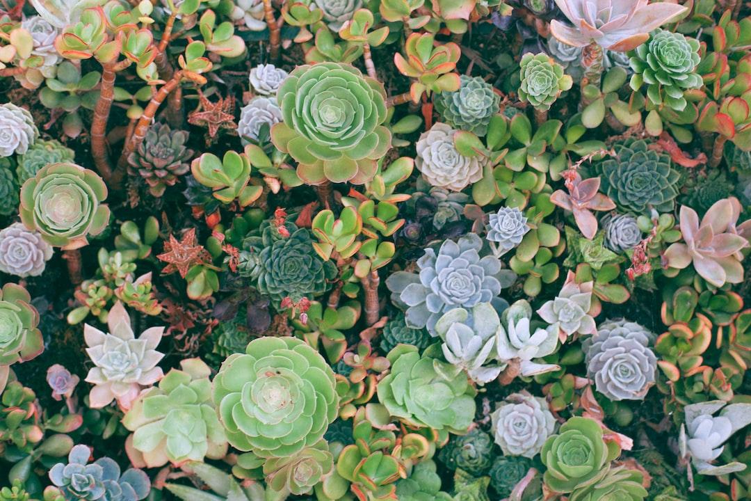 Ocean of succulents at Santa Monica