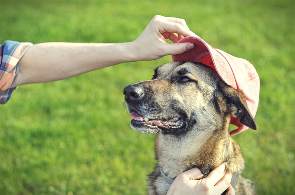 adult short-coated brown dog wearing red fitted cap
