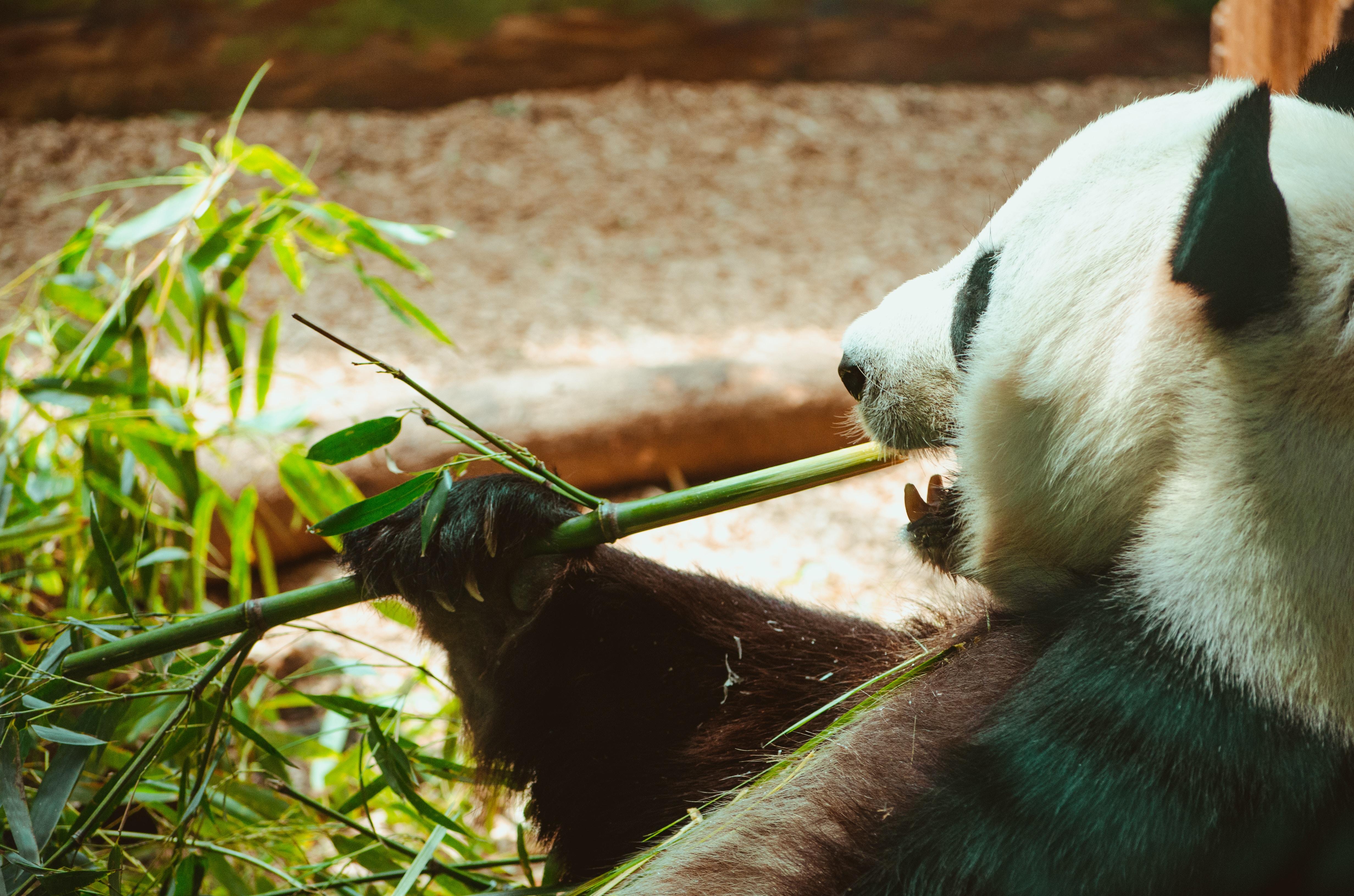 panda holding green bamboo while eating