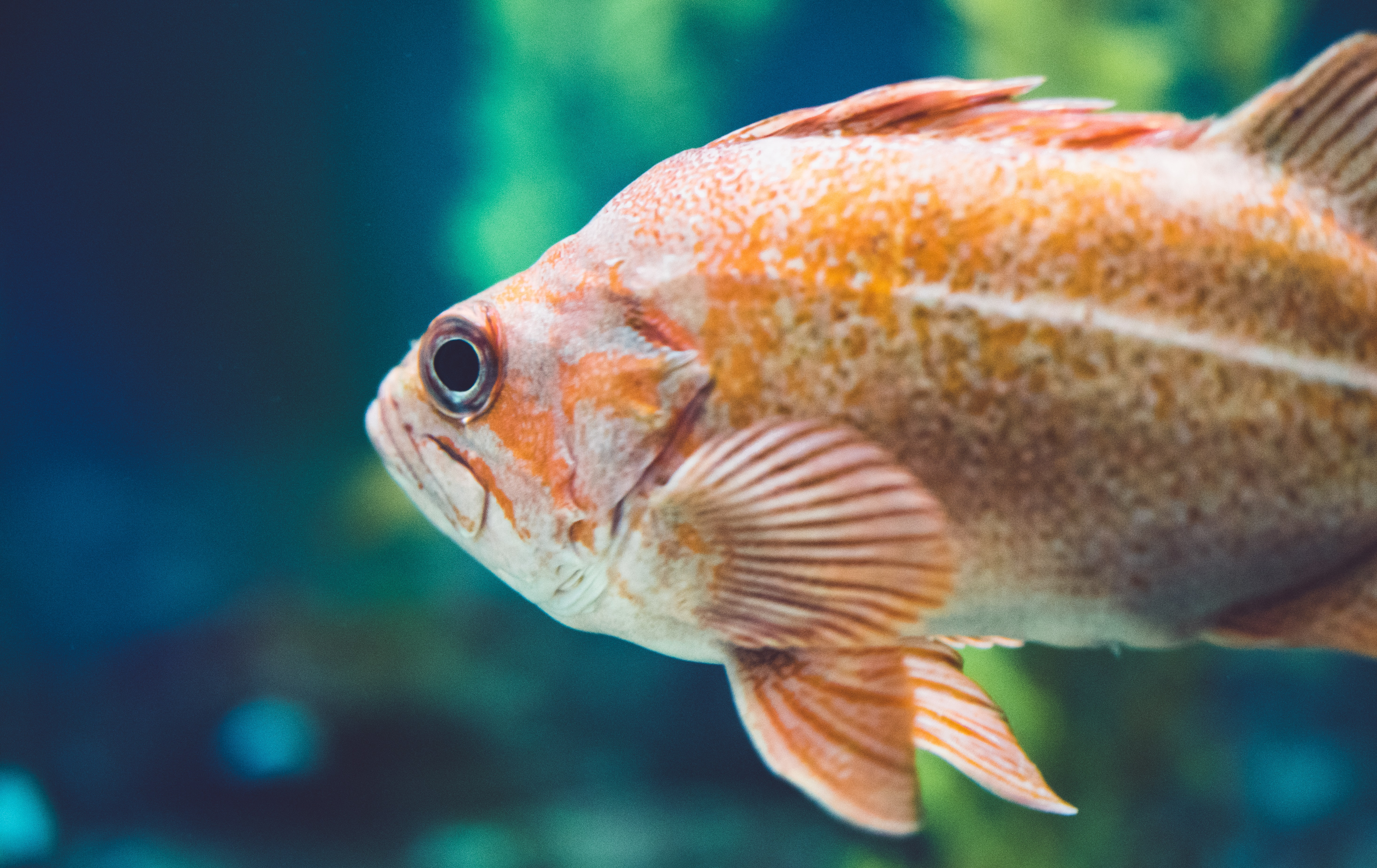 orange fish closeup photography