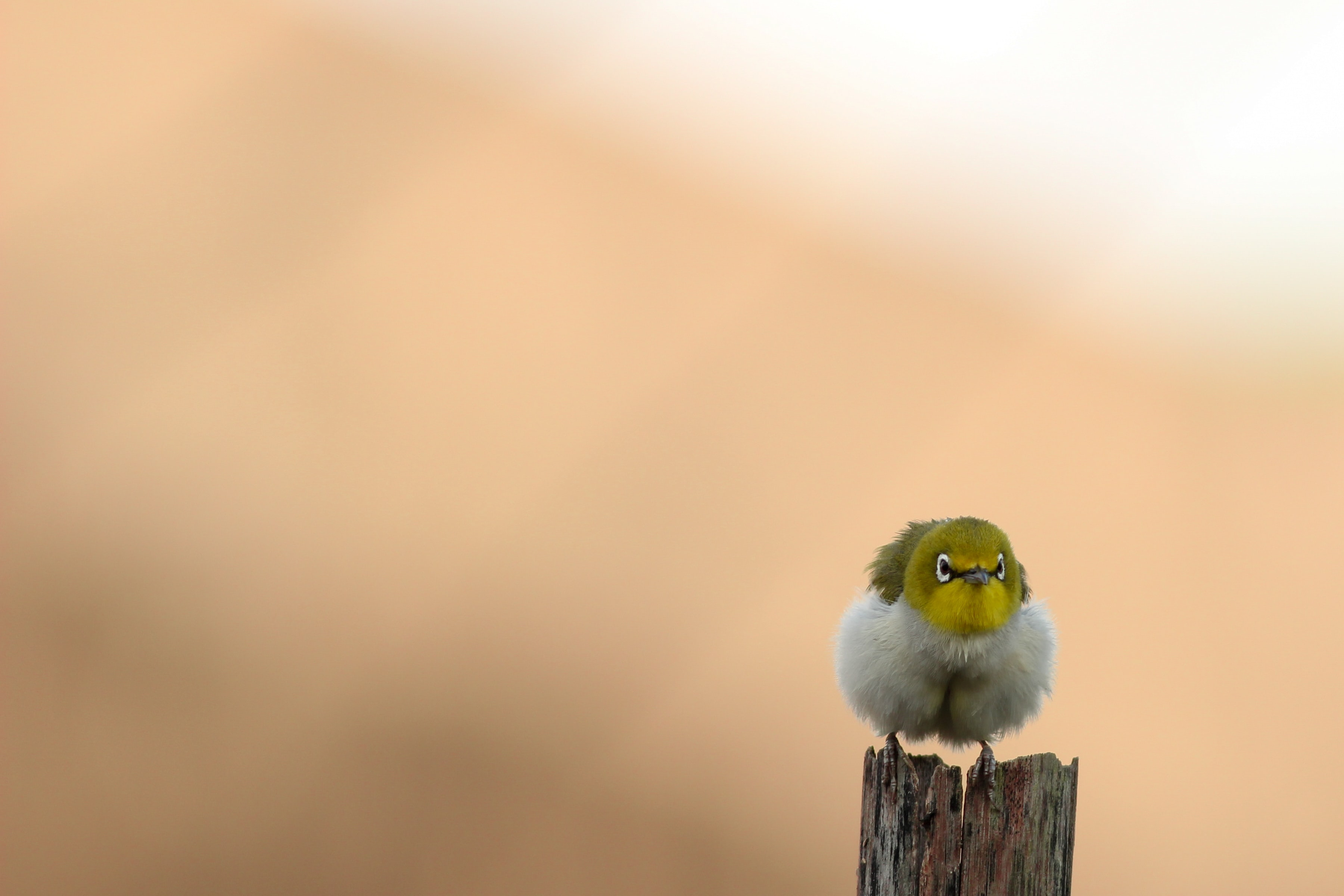 selective focus photo of white and yellow bird