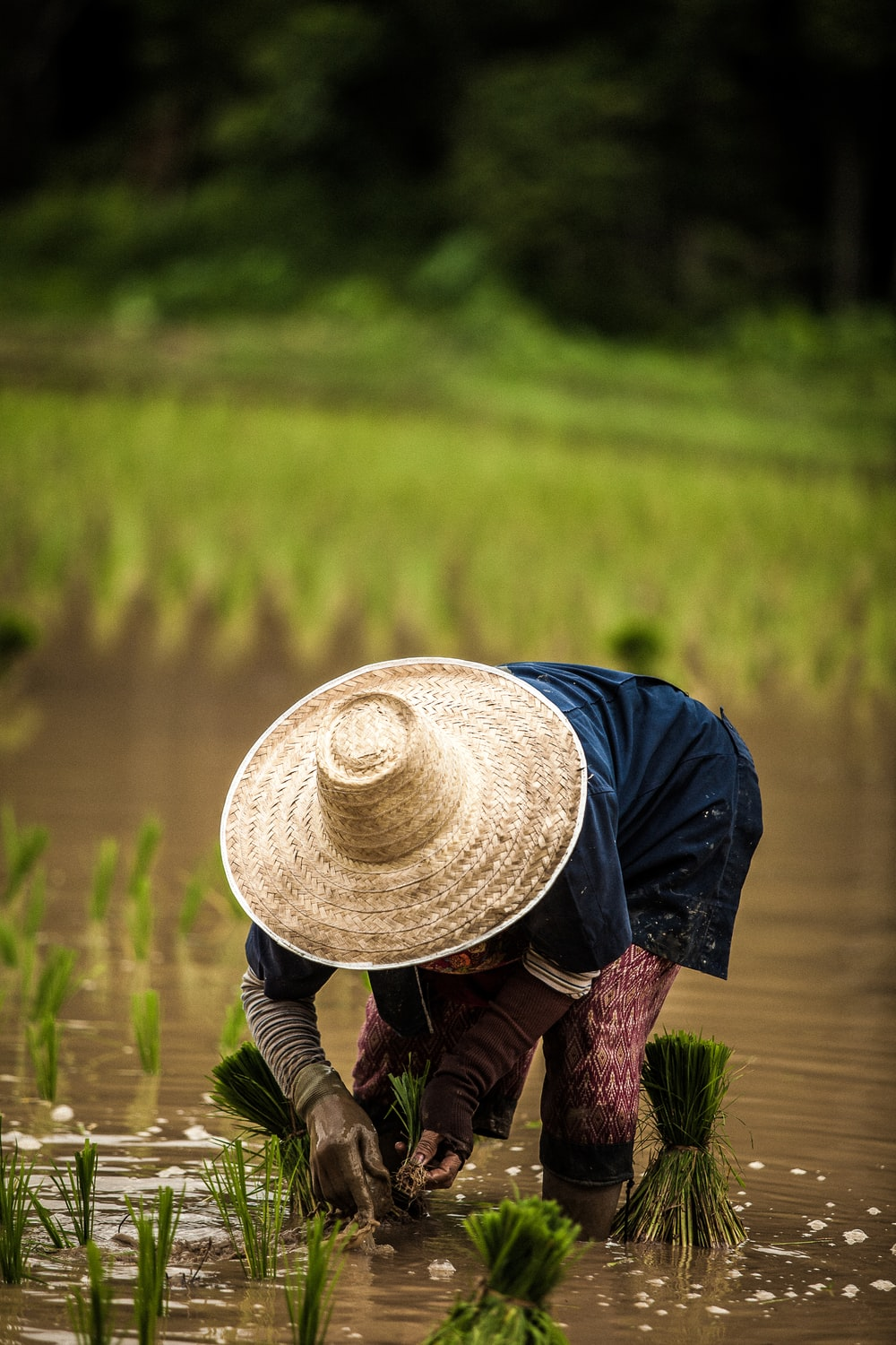 person wearing brown straw hat while planting rice selective focus photography