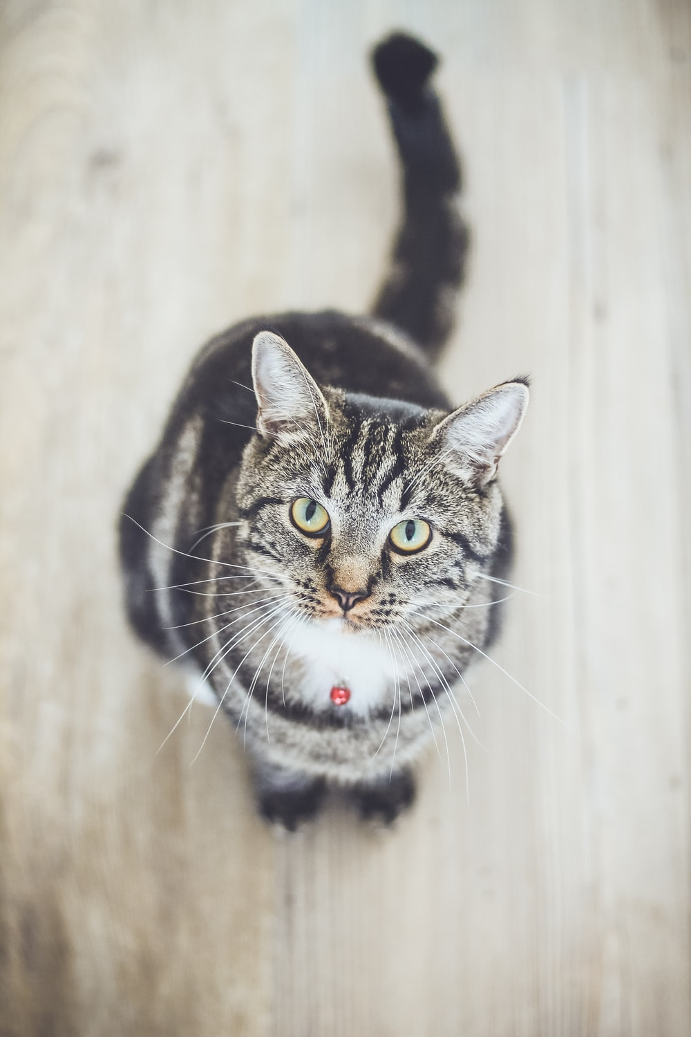 black and white tabby cat