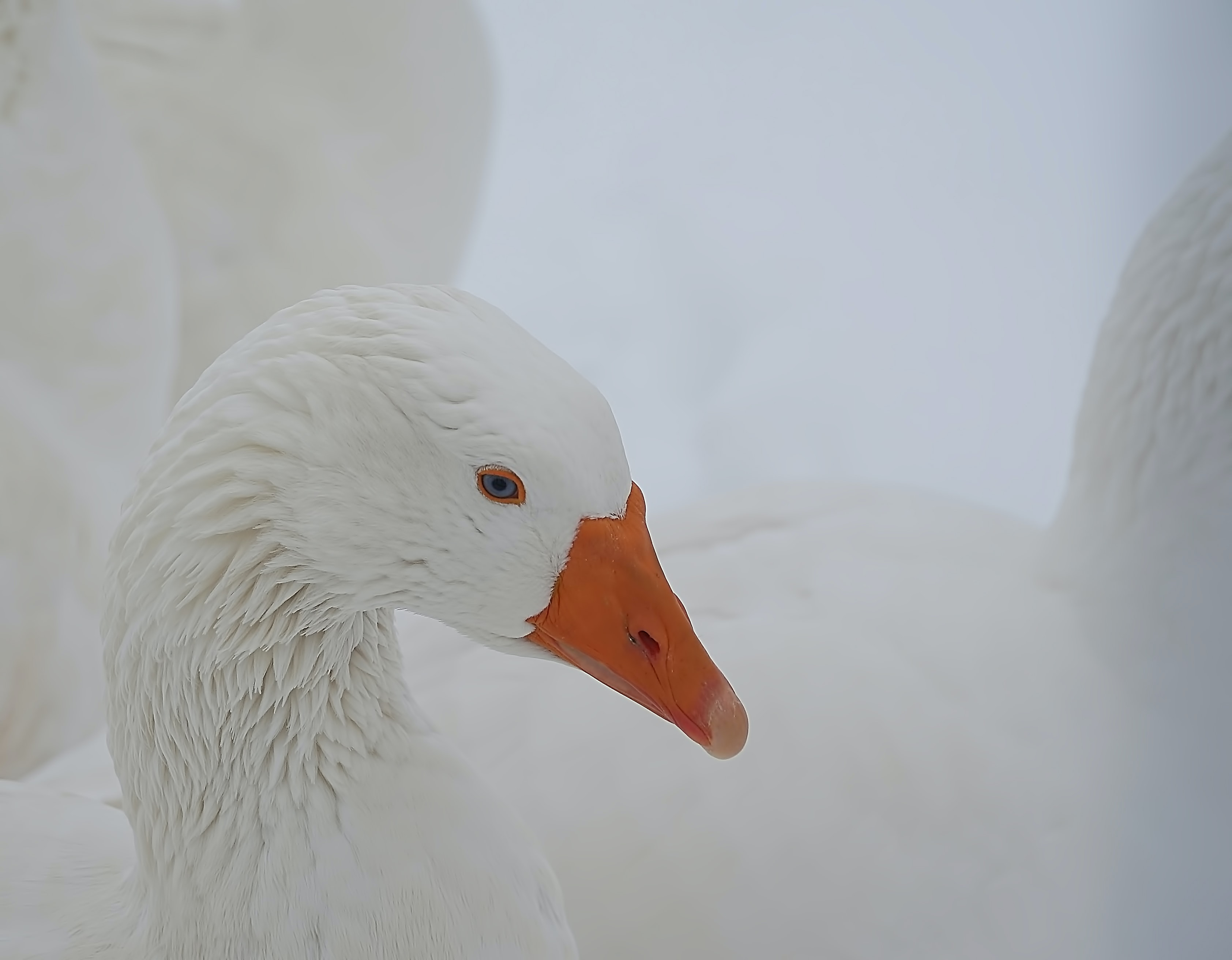 selective focus photo of white duck