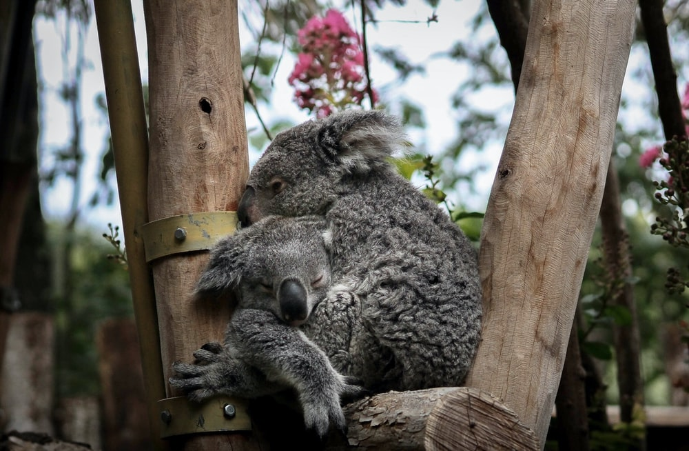 two gray koalas on tree