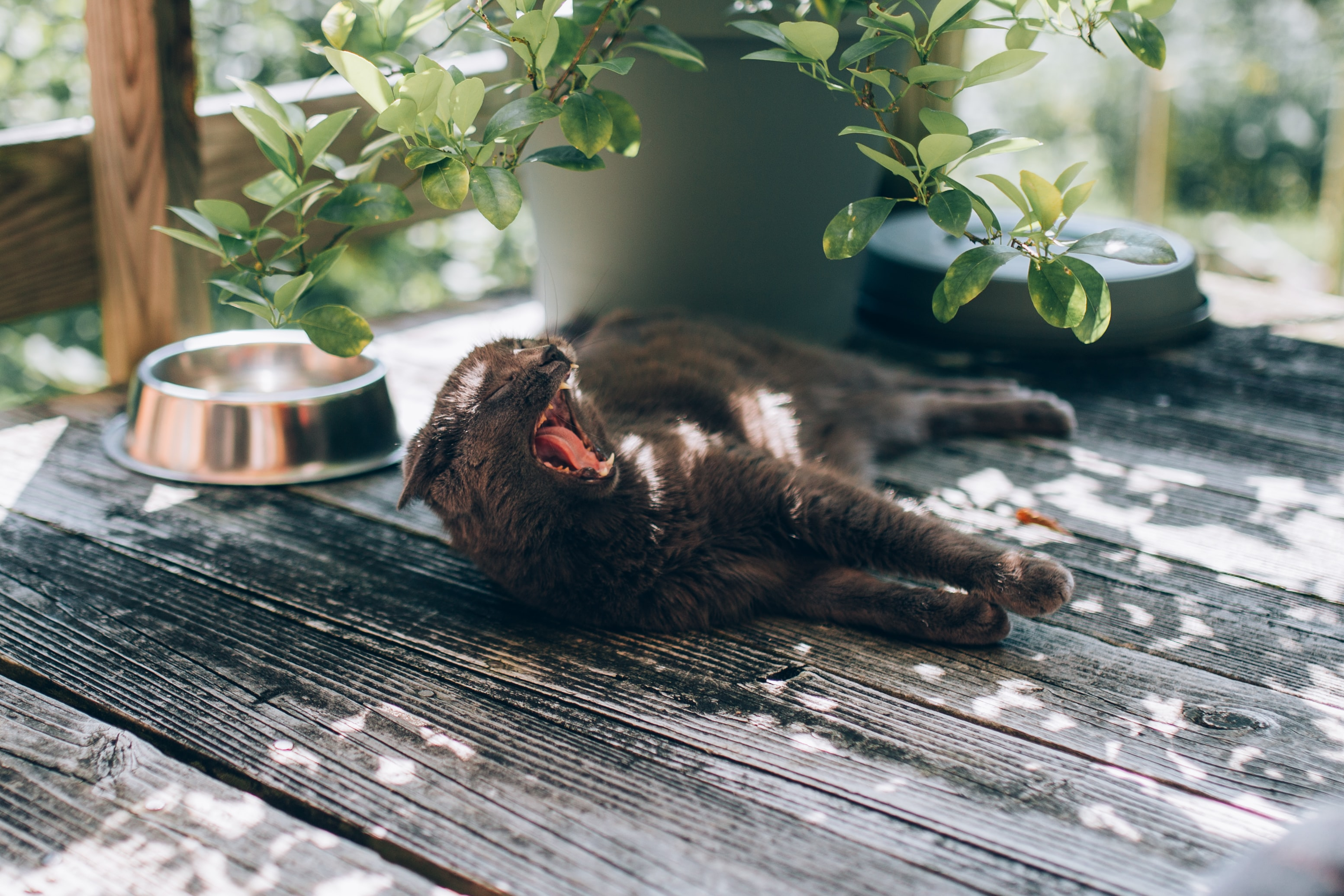 black cat yawning while laying on black wooden floor