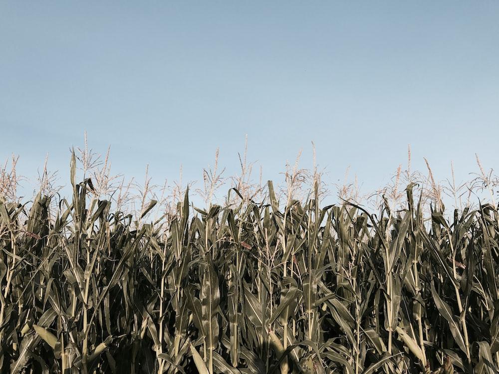 corn filed during daytime