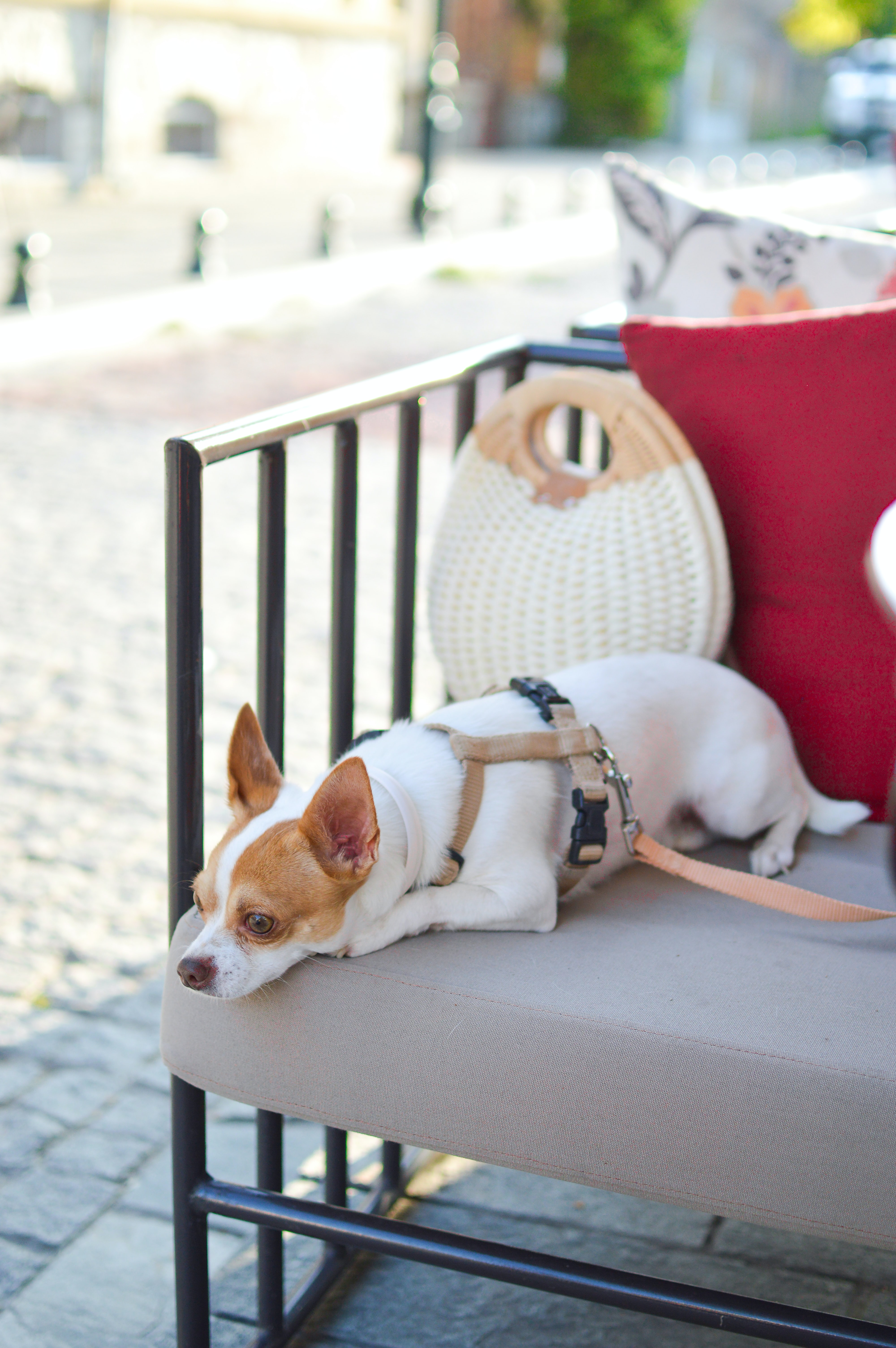 short-coated white and brown dog laying down on bench