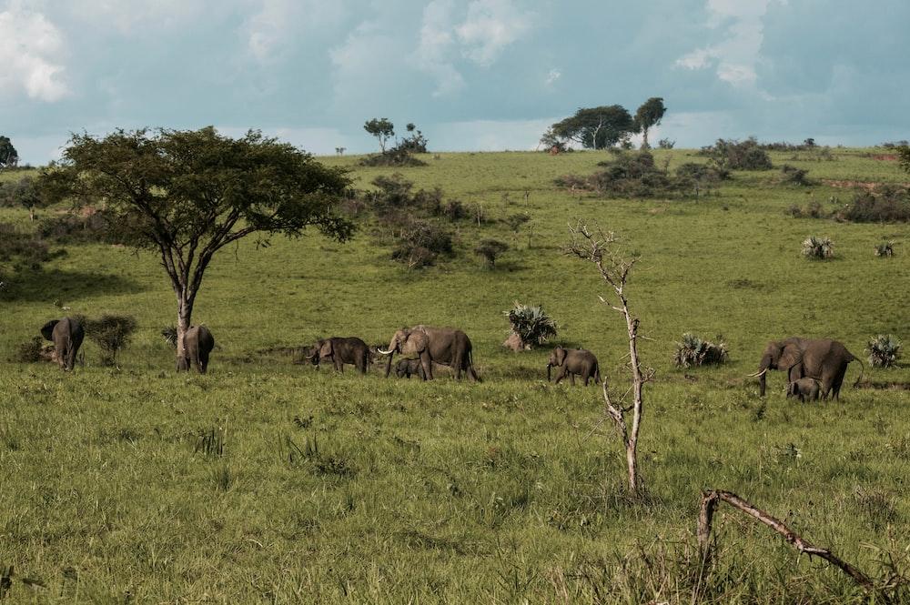 horde of elephant
