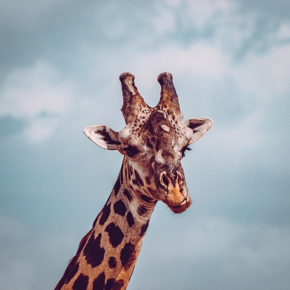 giraffe close up photography