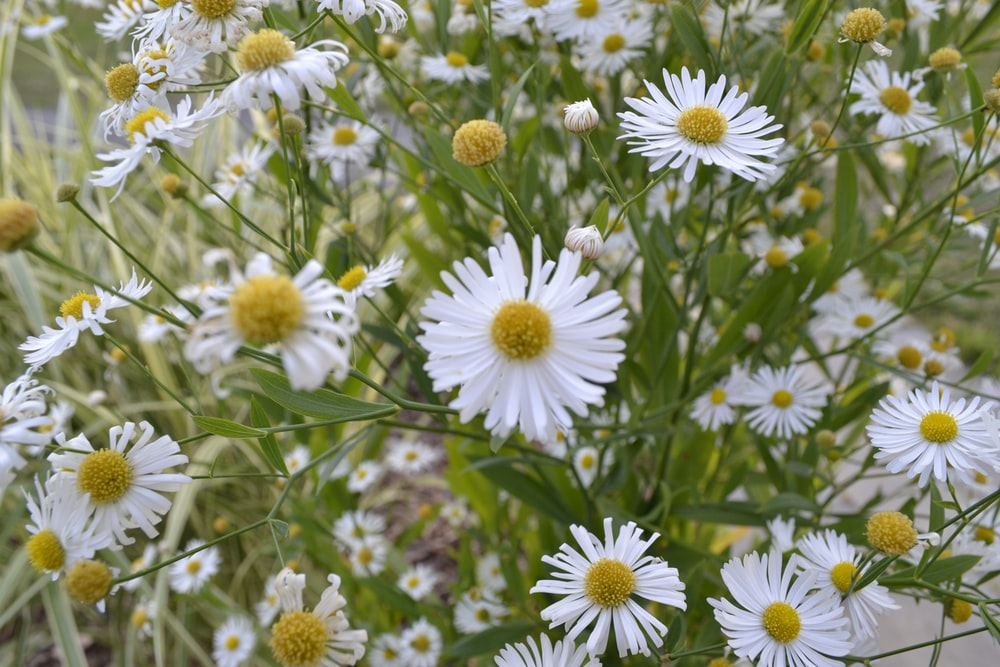 white aster flowers at daytime