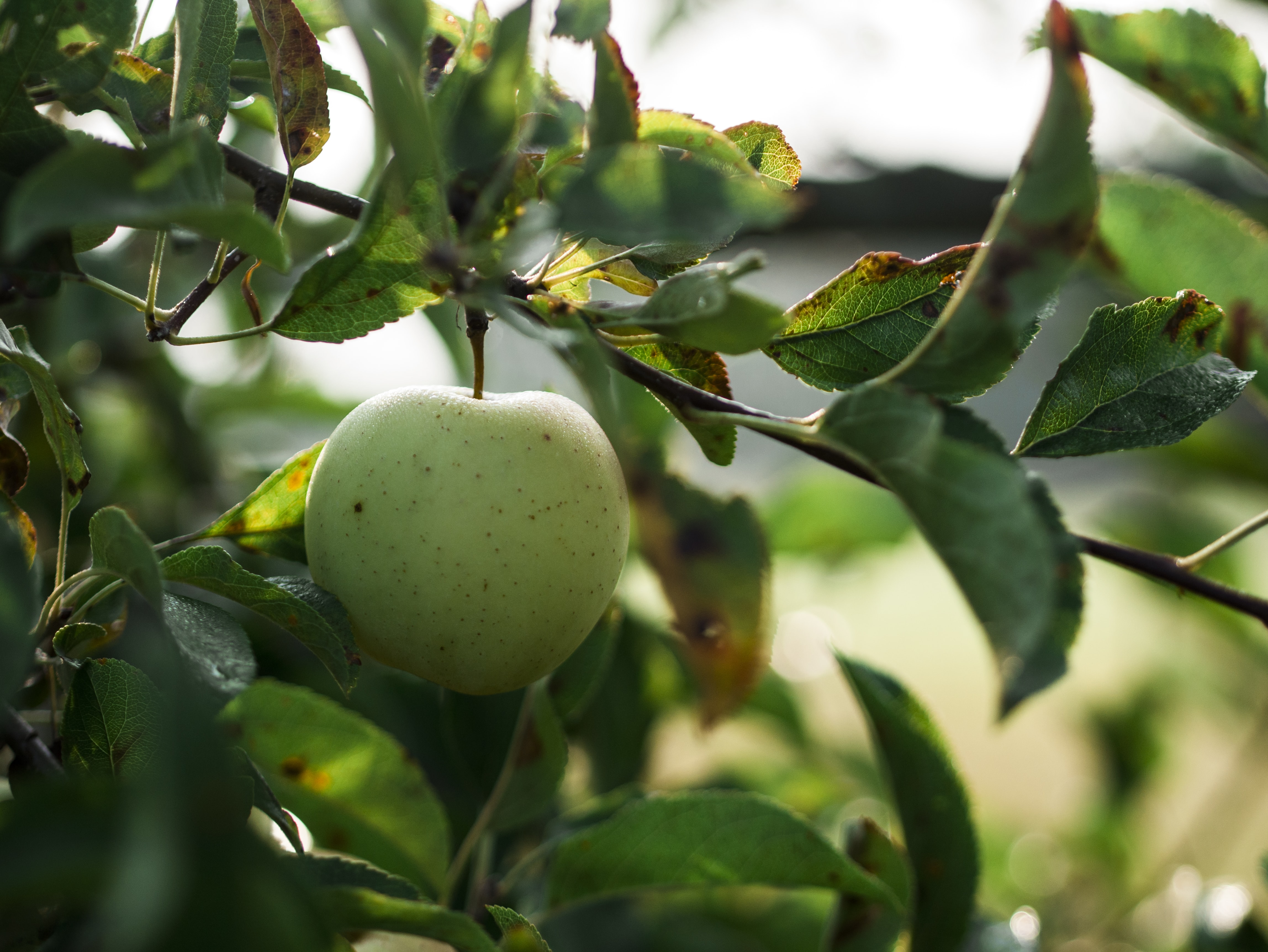 green apple fruit