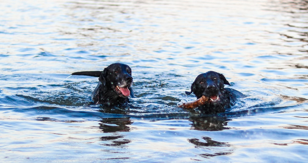 two black dogs swimming