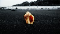 brown conch shell on gray sand closeup photo