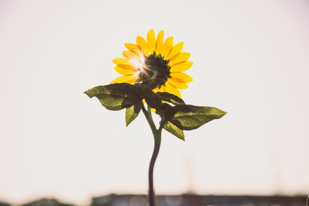 photo of sunflower during daytime