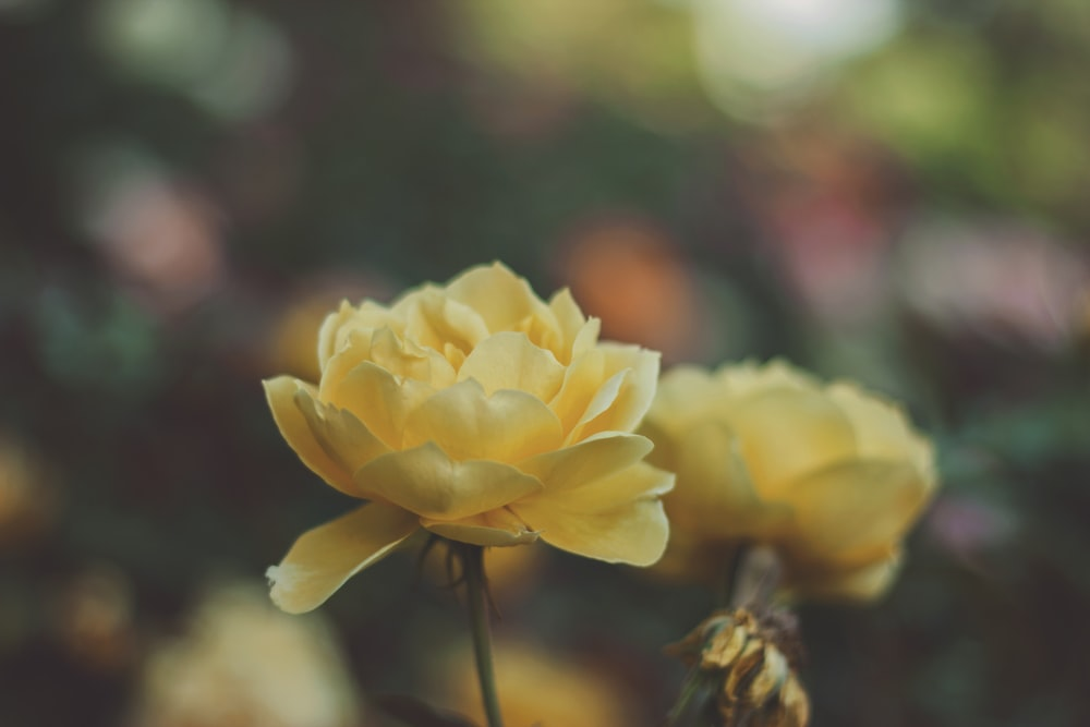 two yellow flowers in macro photography