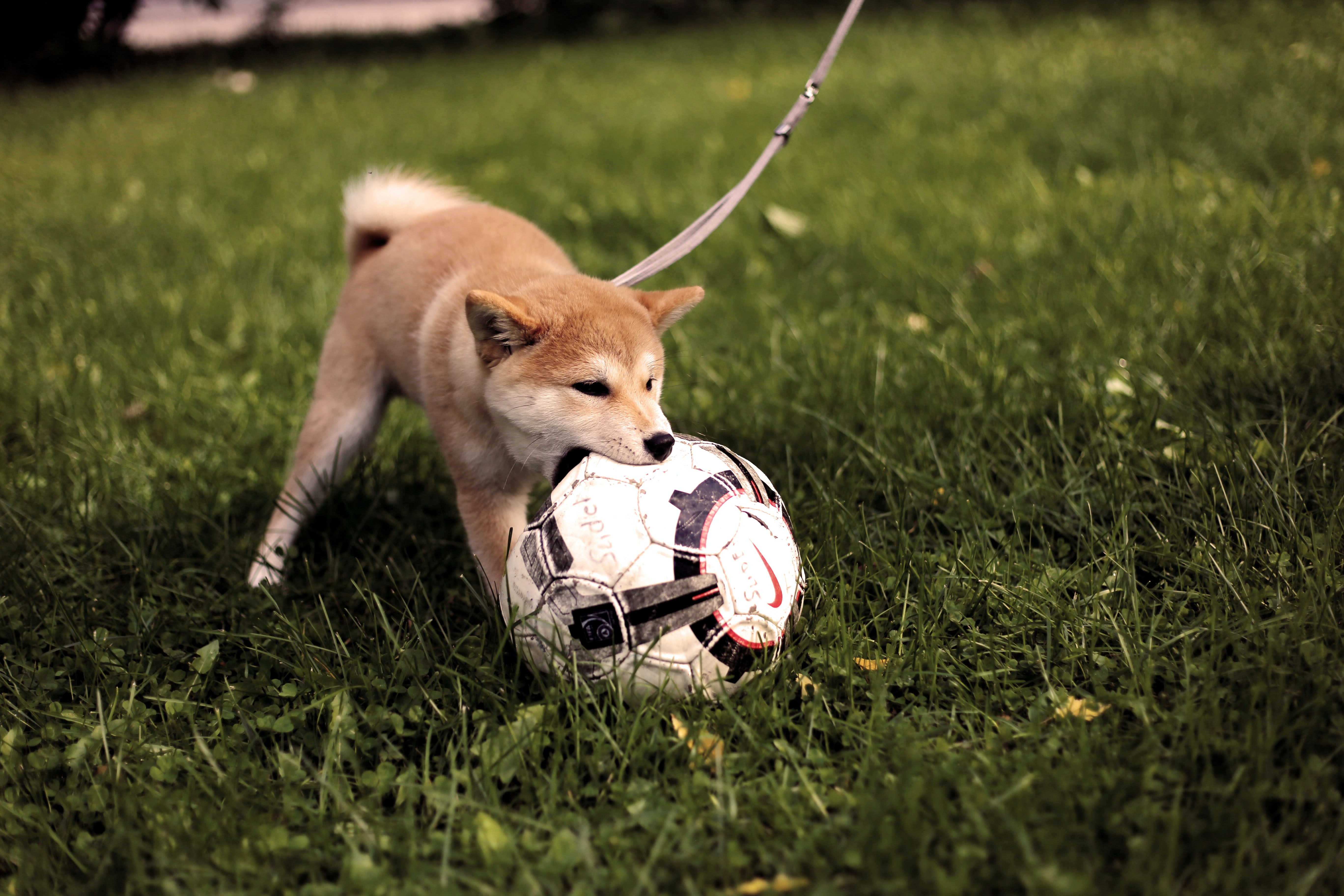 short-coated tan dog playing soccer ball on green grass field during daytime