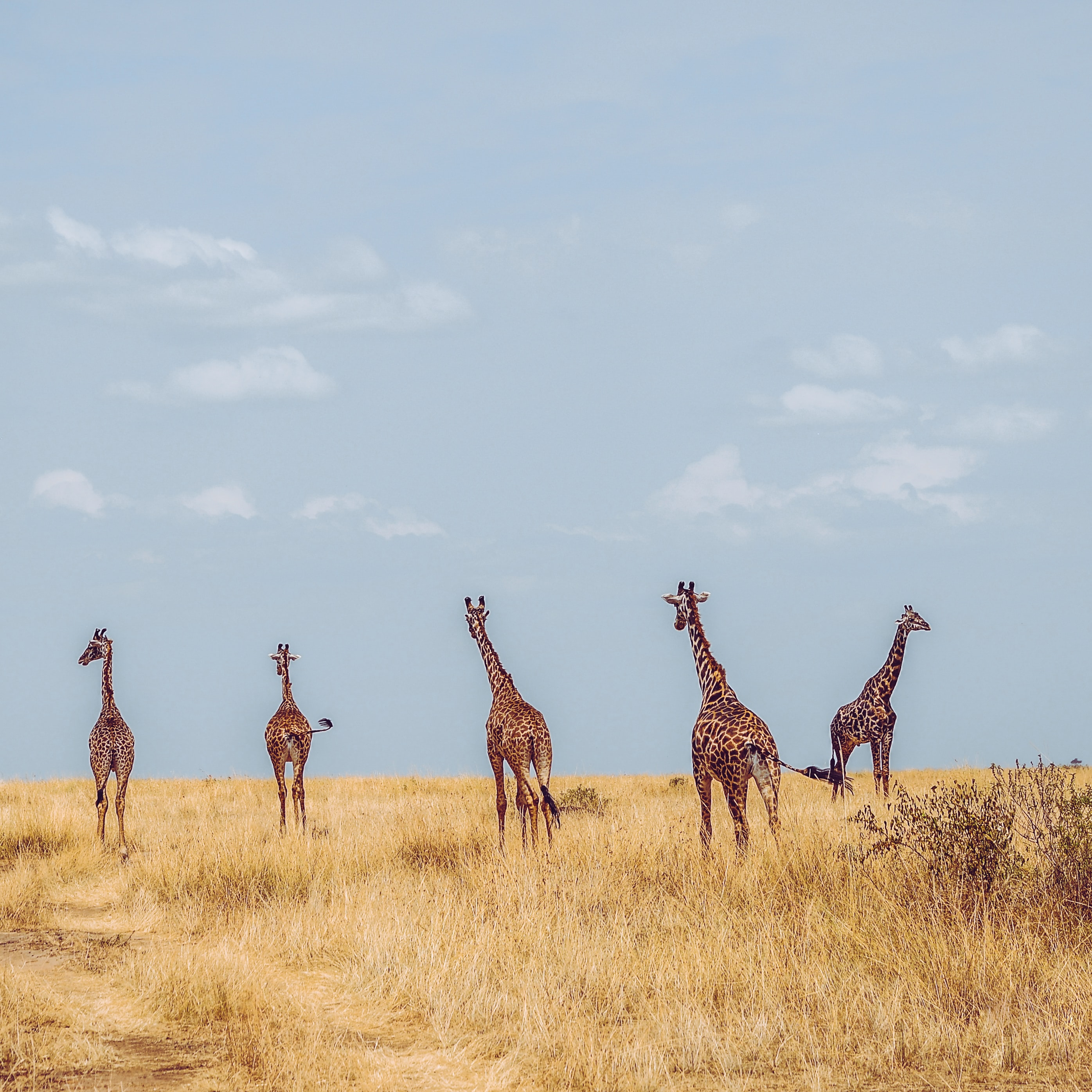 five giraffes on grass field during daytime