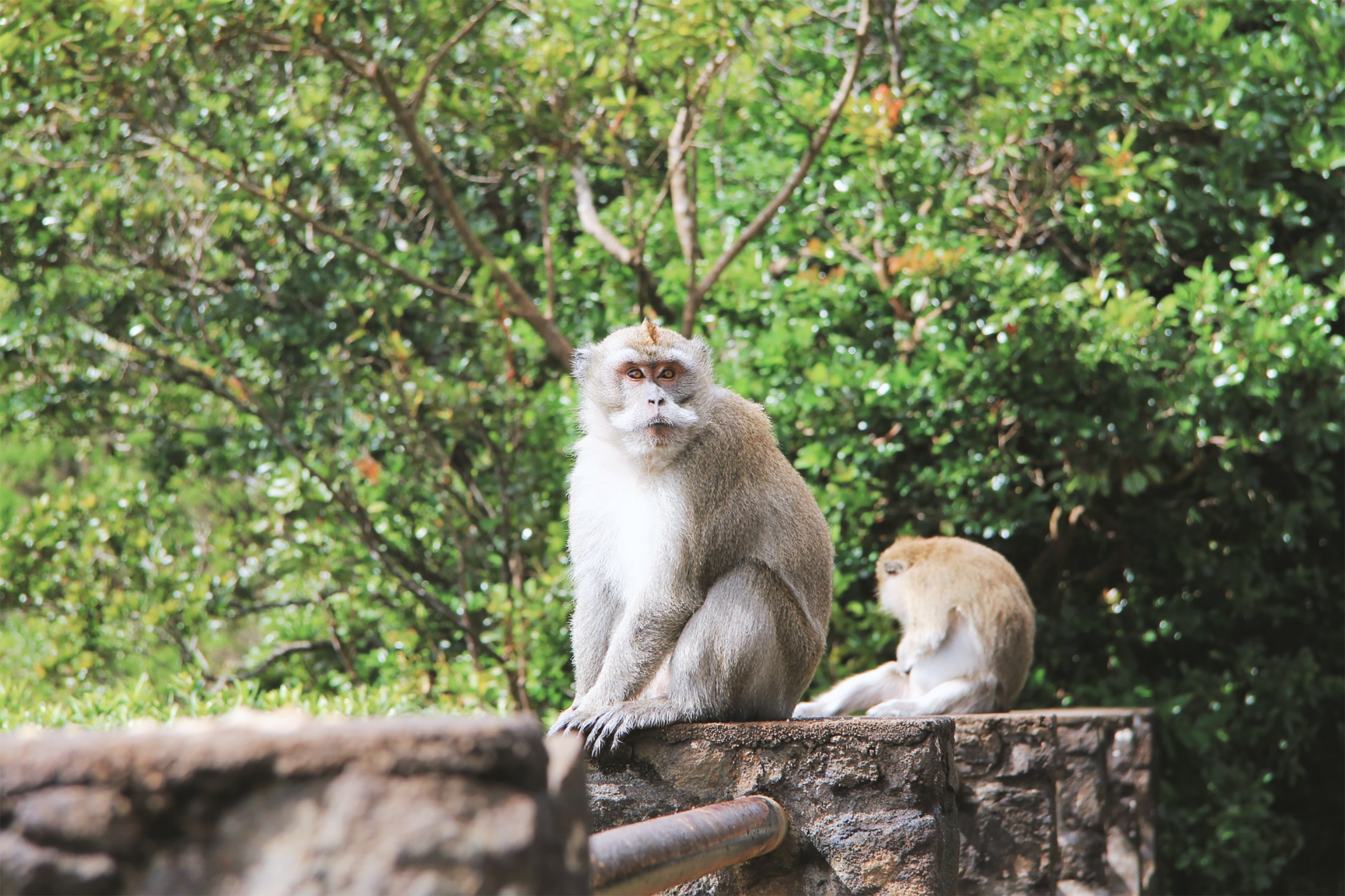 two gray monkeys on concrete fence