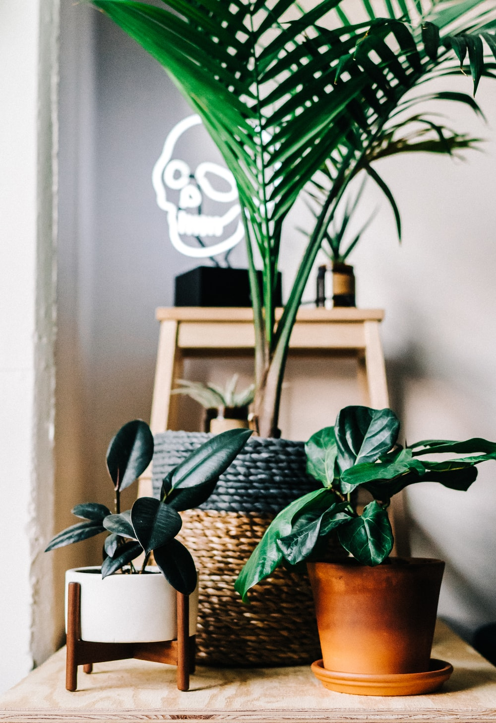 palm plant and rubber fig on brown wooden table