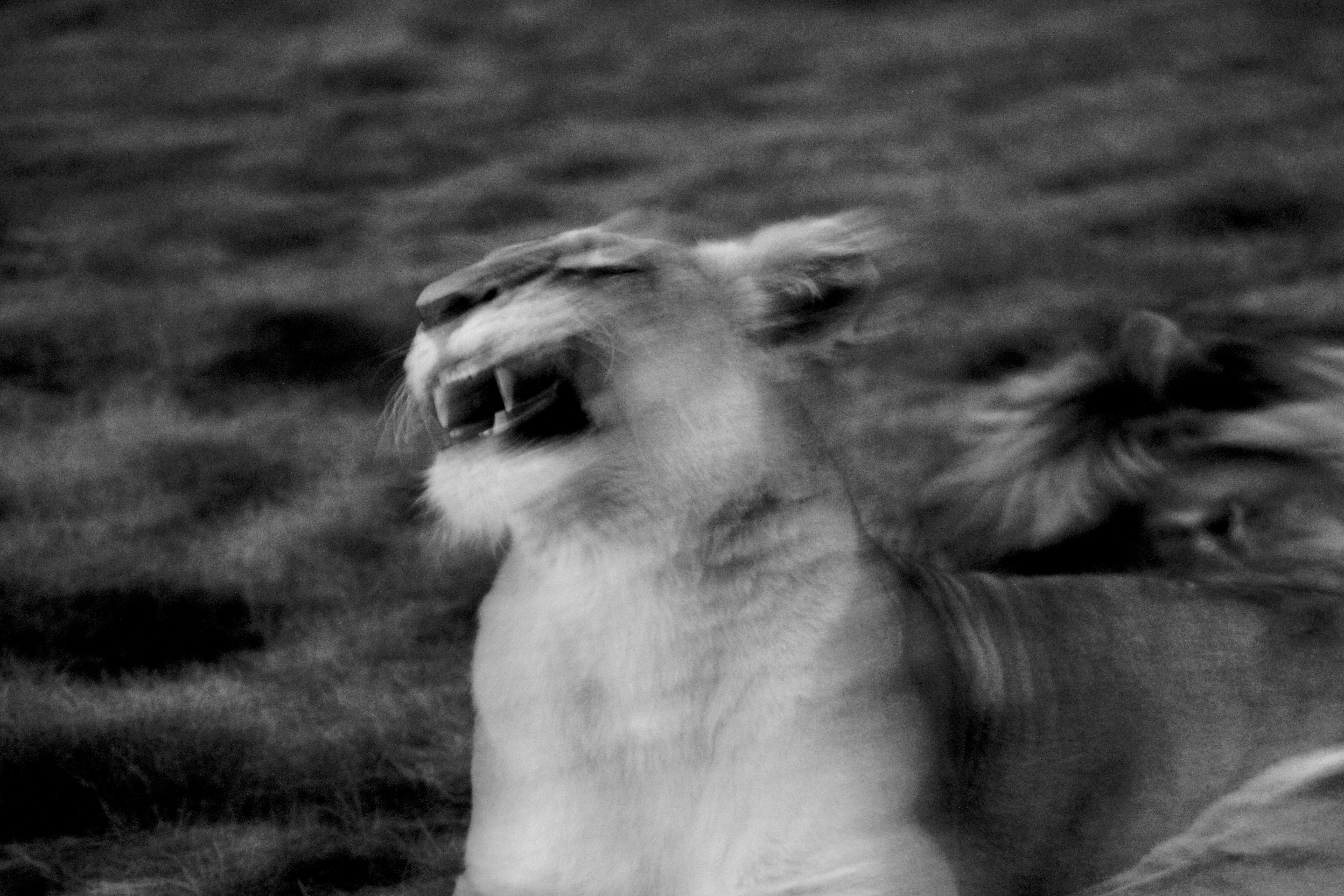 greyscale photography of roaring lioness