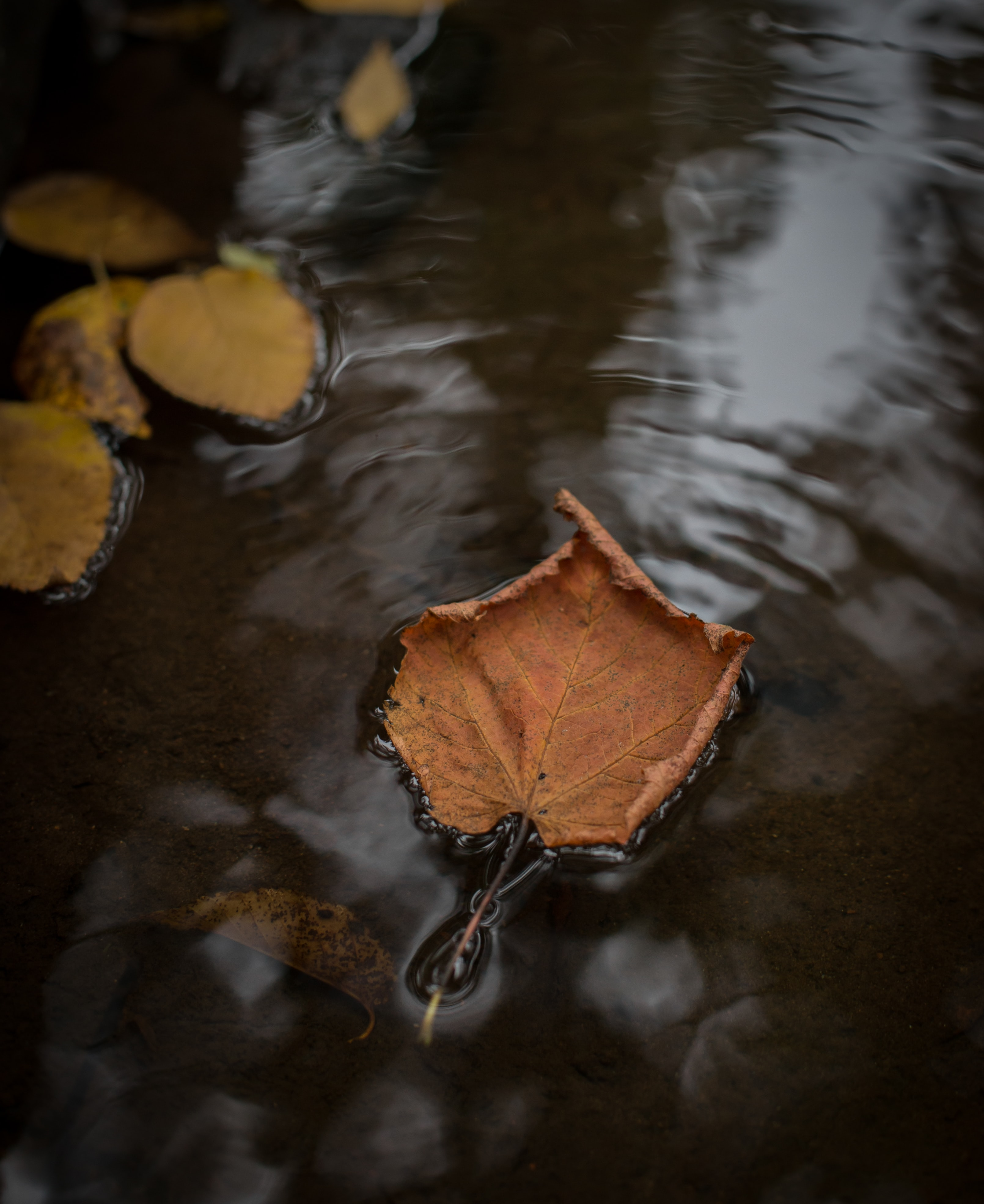 brown maple leaf on the water photography