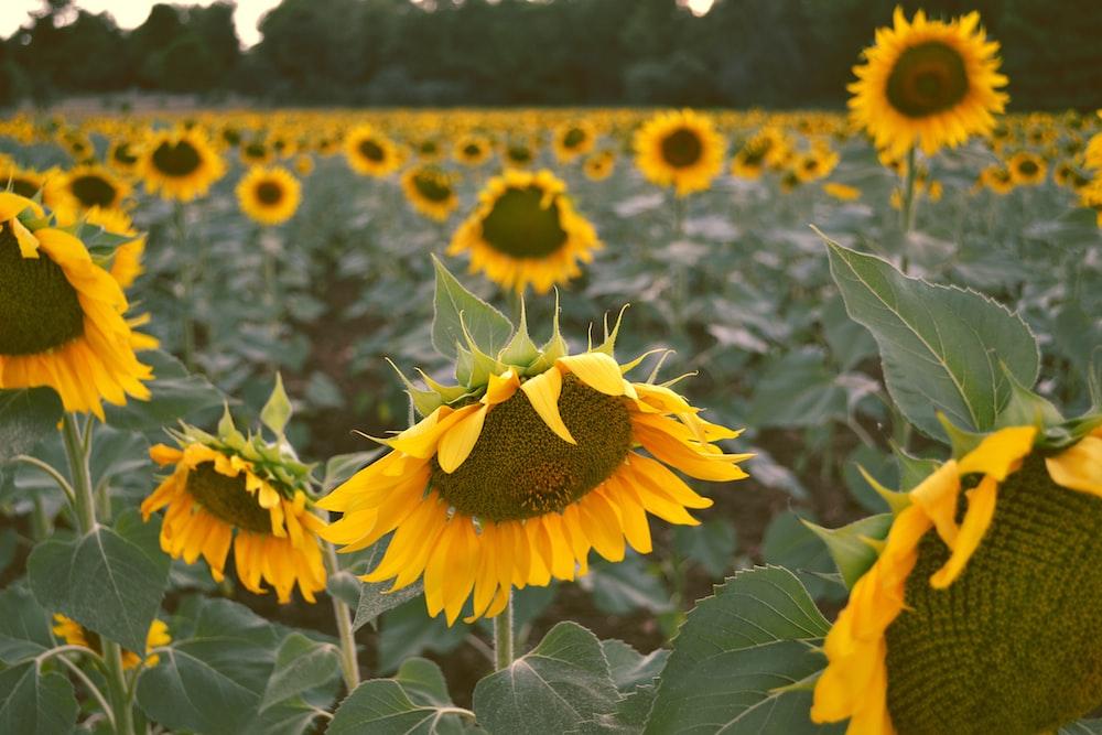 field of sunflower during daytime