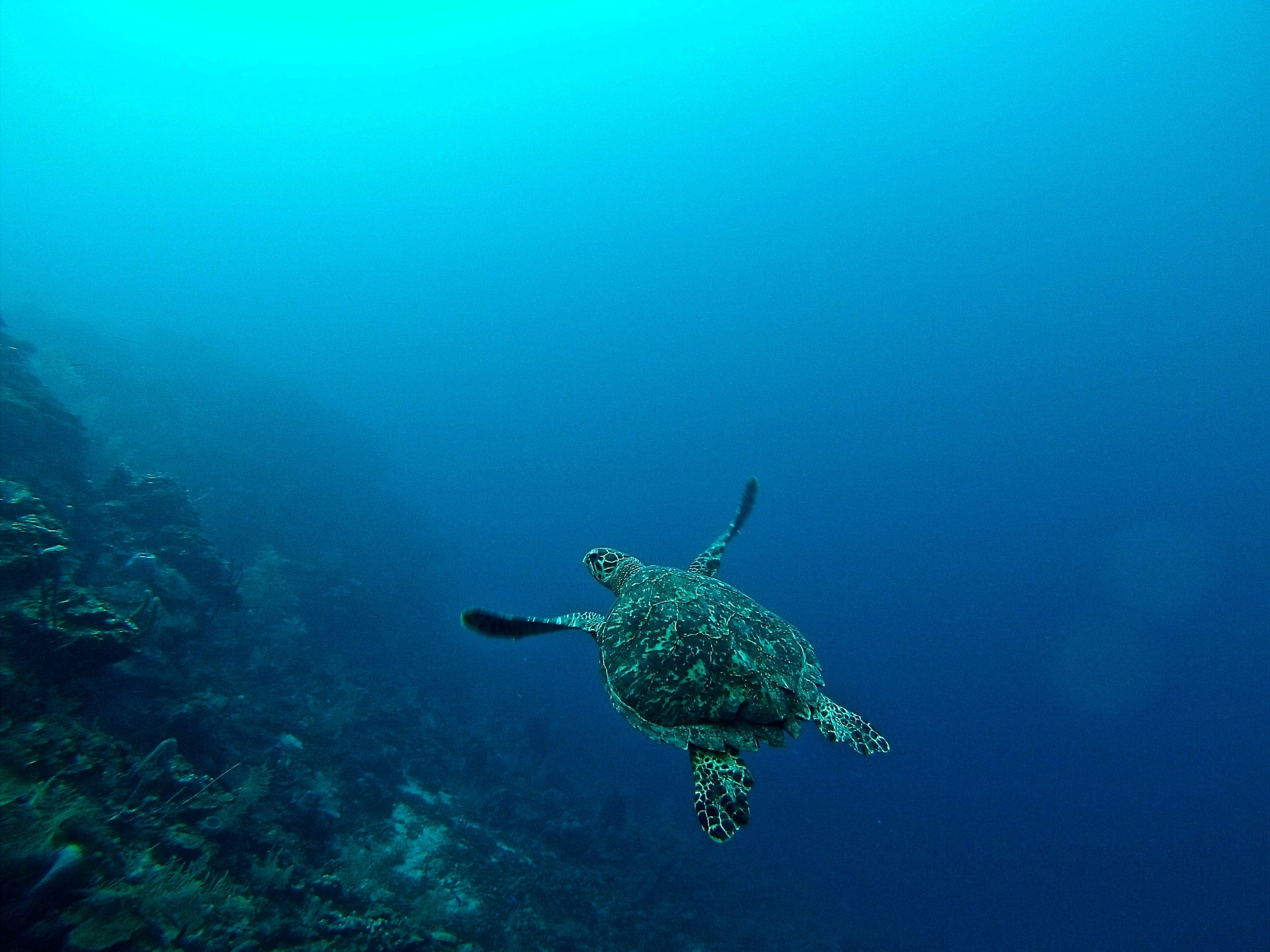 sea turtle in water