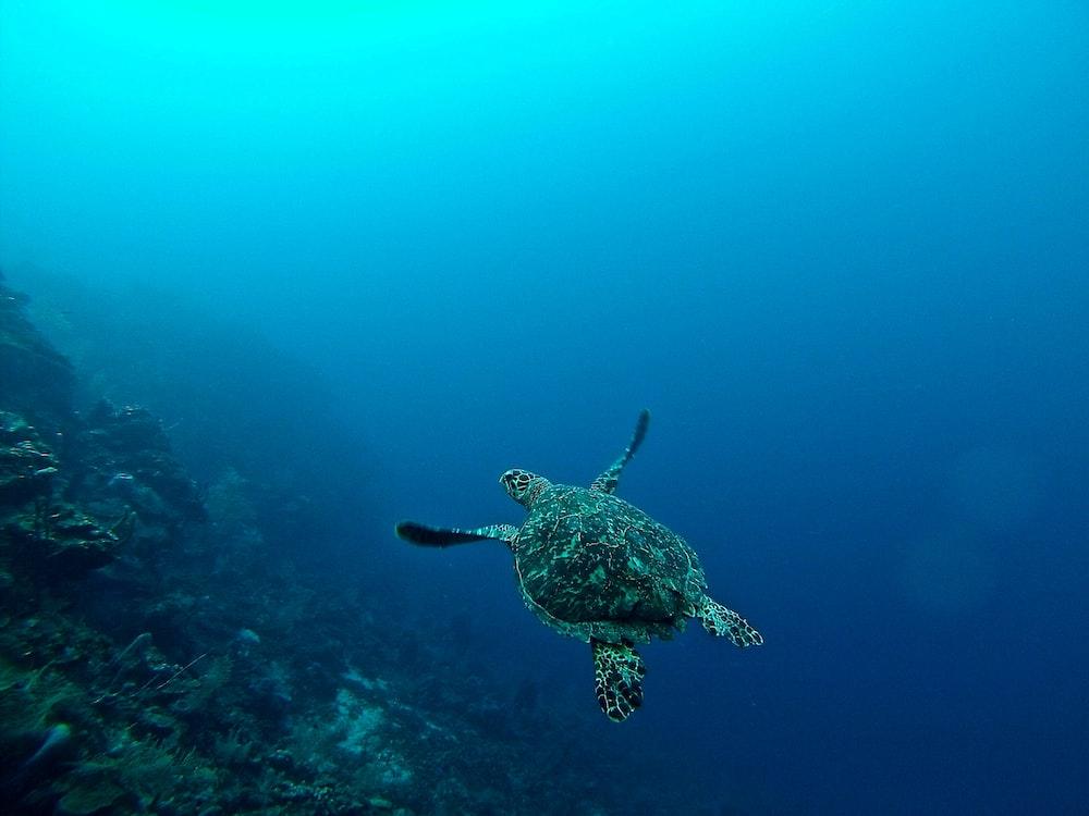 sea turtle in water