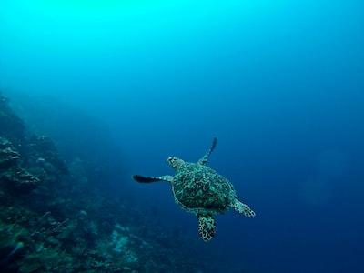 sea turtle in water honduras teams background