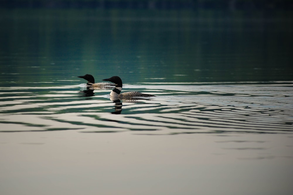 two white-and-beige Canada geese swimming on water