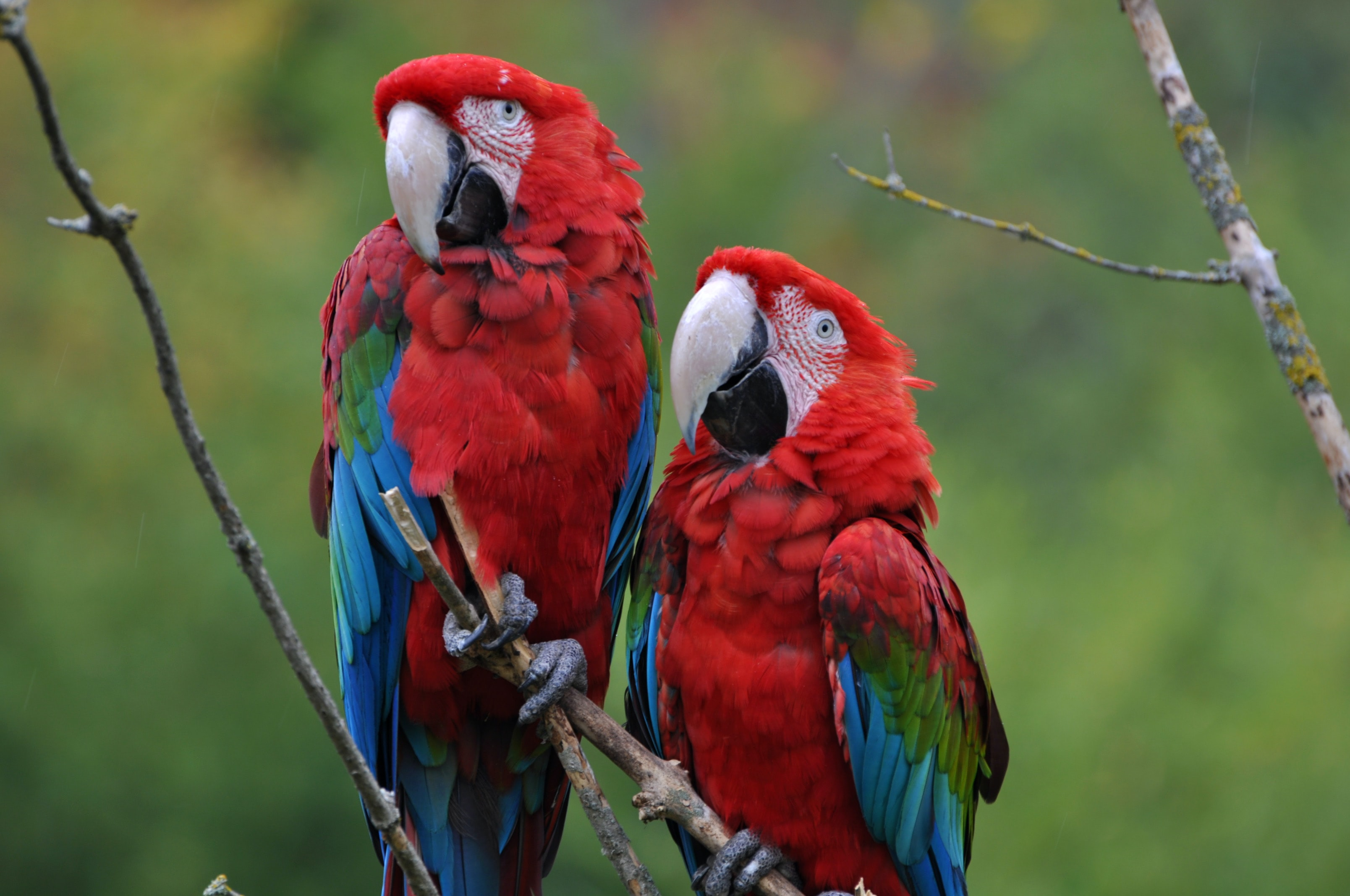selective focus photography of two red-blue-and-green macaws standing on tree branch during daytime