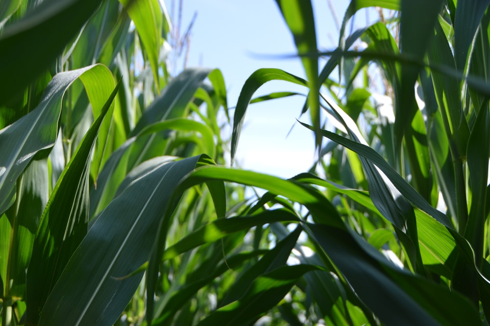 green corn plant at daytime