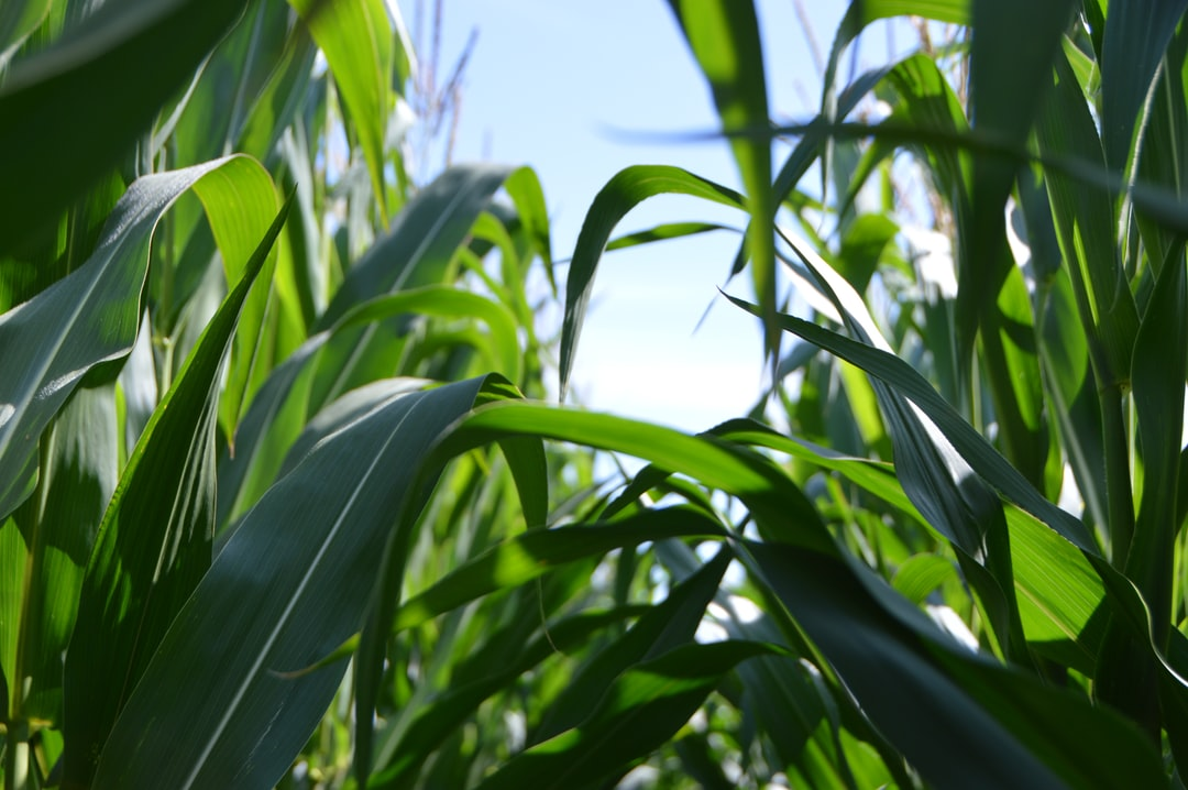 Corn growing in the field. I was attracted by the shape of the fresh leaf growth and the silhouette against the sky.