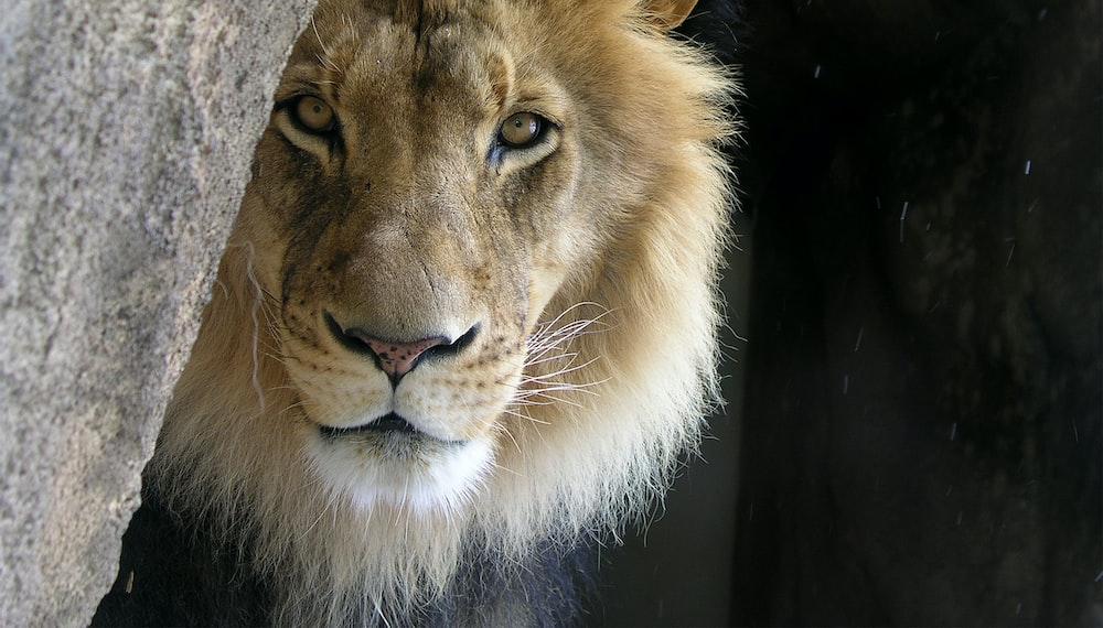 closeup photo of lion