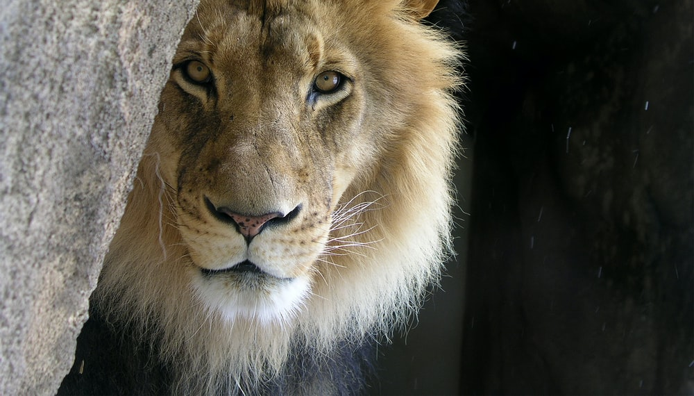 closeup photo of lion