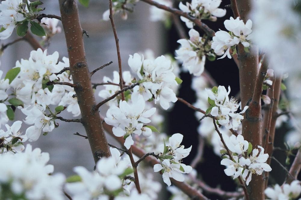white flowers on brown tree
