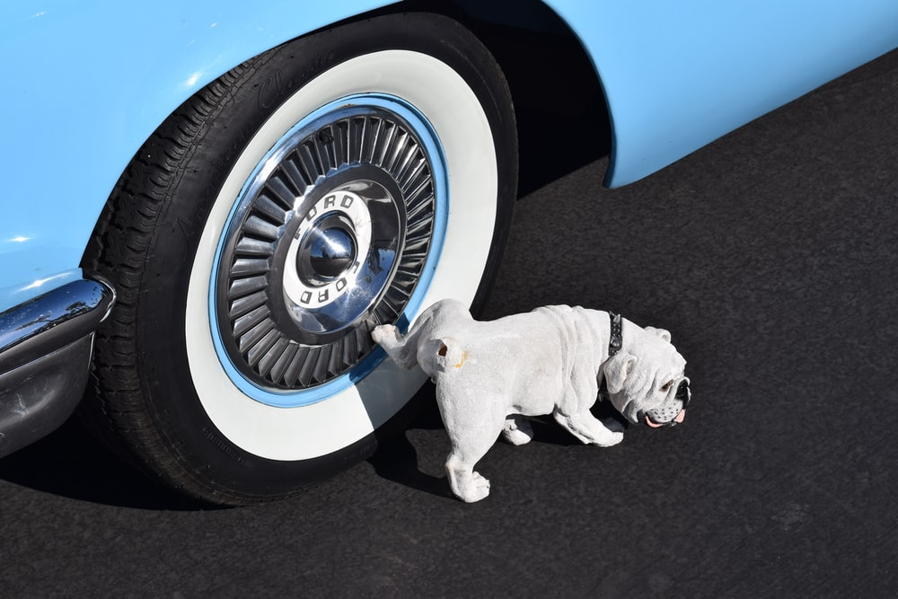 white English bulldog peeing on white wall tires