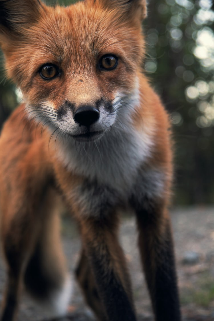 Snow, fox, fur and tail HD photo by Ray Hennessy ...