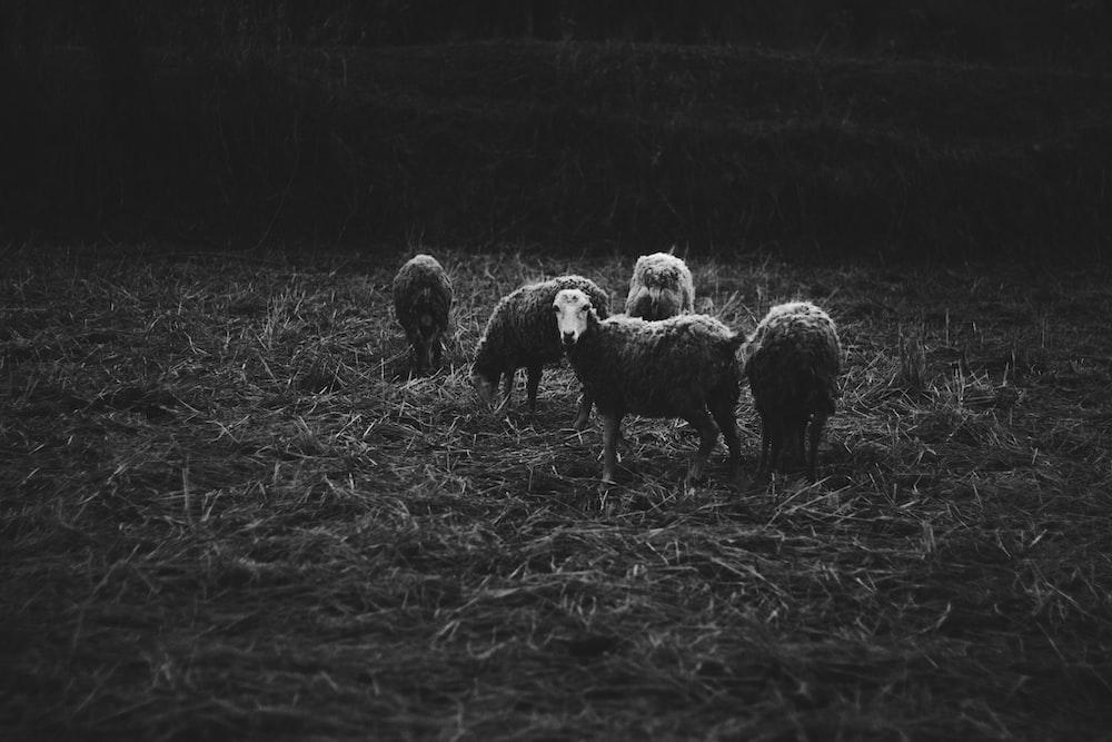 five sheep on grass field