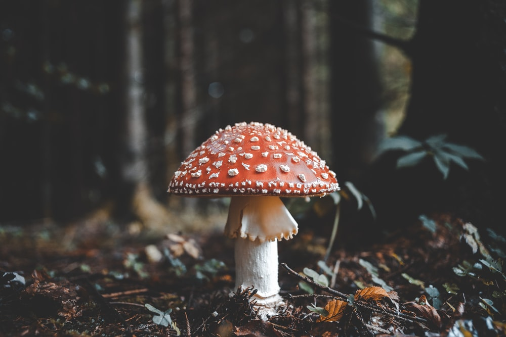 red and white mushroom