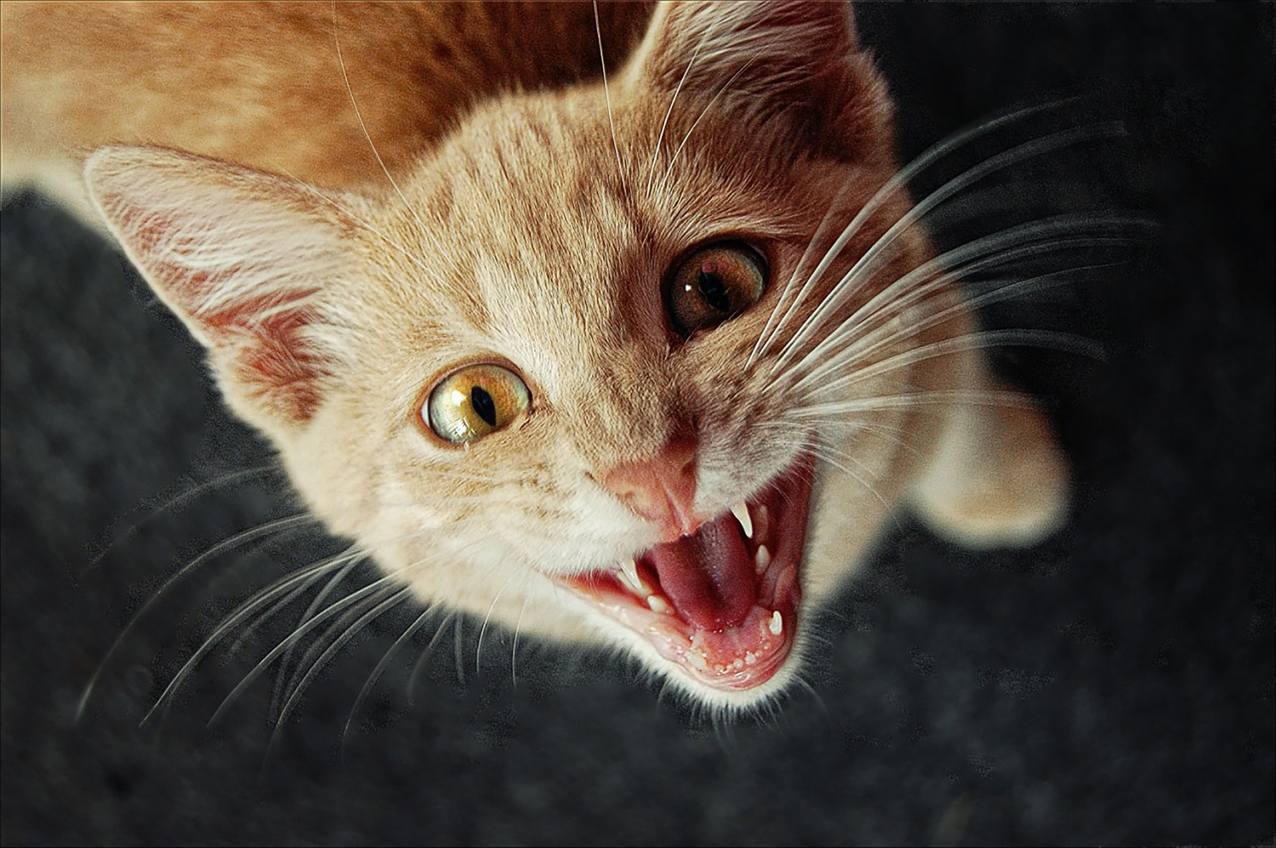 focus photography of orange tabby cat