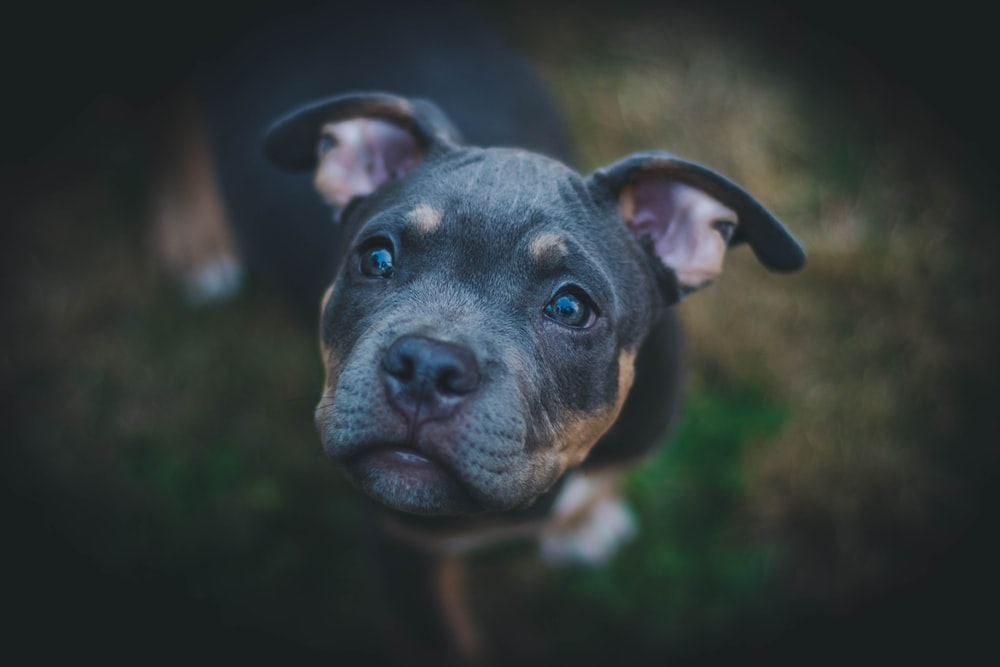 closeup photography of black American pit bull carrier puppy