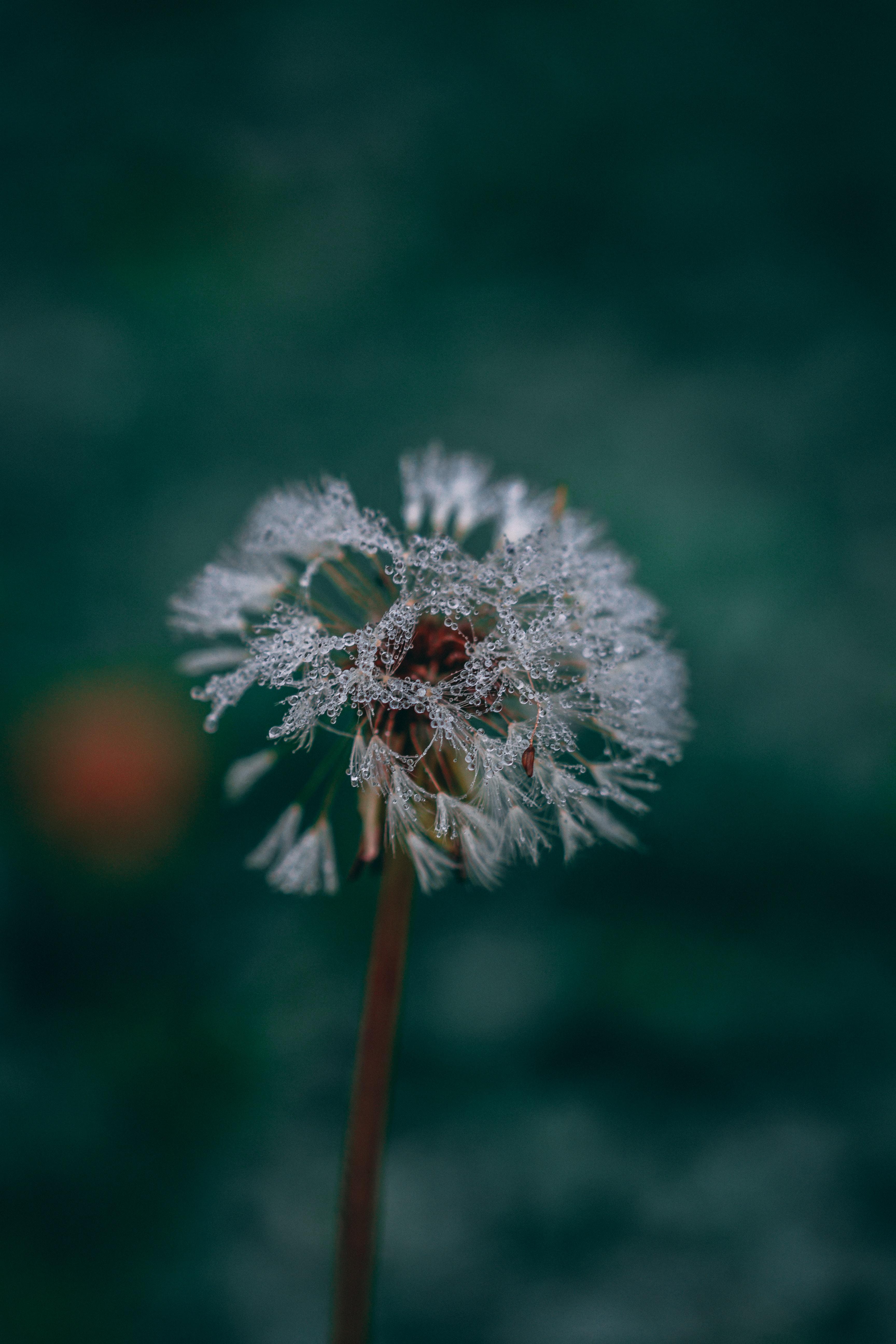 macro photo of dandelion