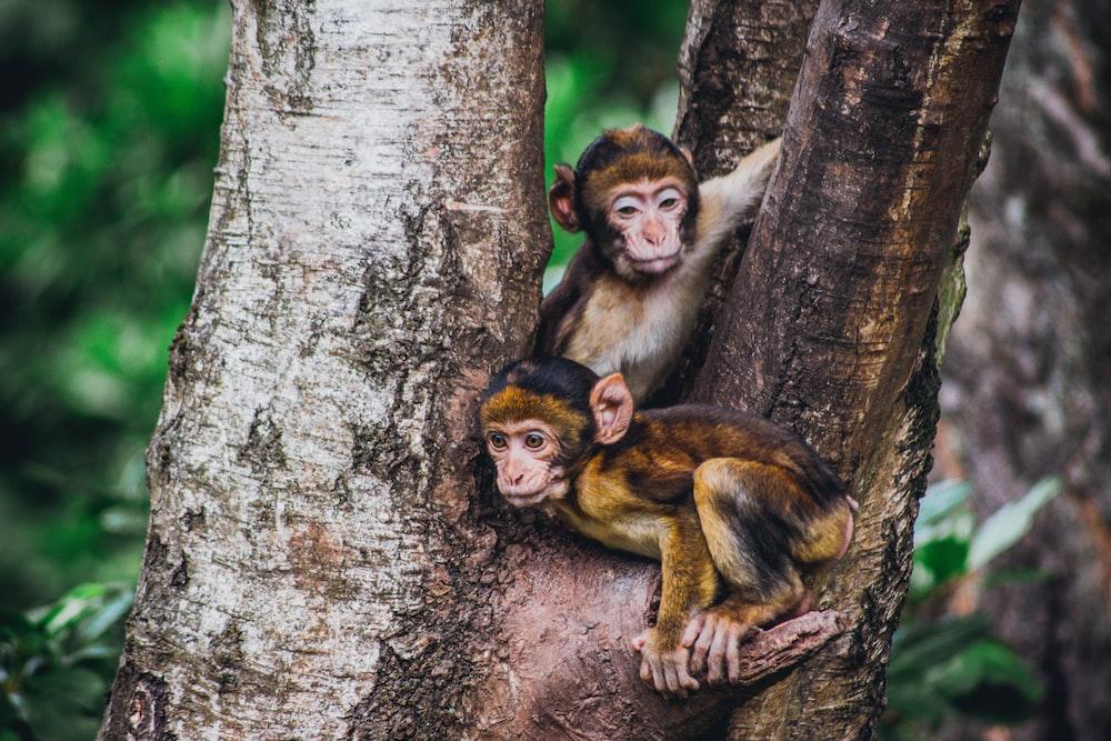 two brown monkeys in a tree